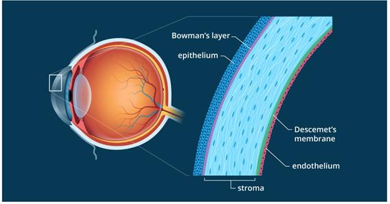 https://www.allaboutvision.com/resources/cornea.htm
